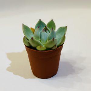Succulent Plant DIY
